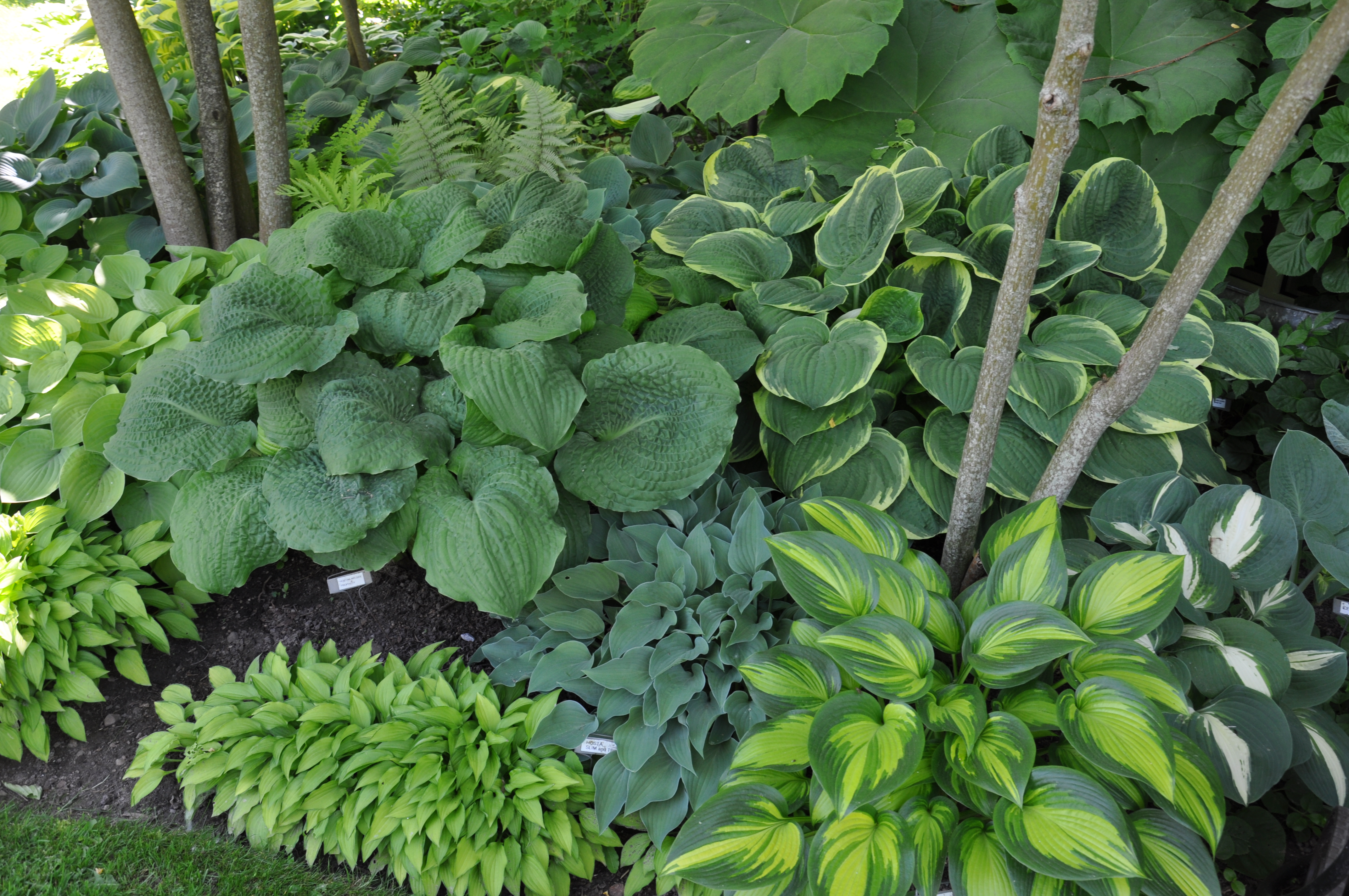 Hostas with different leaf textures