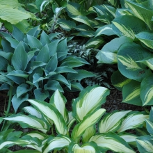 Endless hosta color combinations